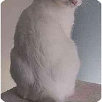 Adopt A Pet :: Balance (Be Be) - Reston, VA