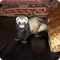 Adopt A Pet :: Nina - Chantilly, VA