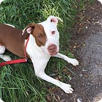 Adopt A Pet :: dino - Wanaque, NJ