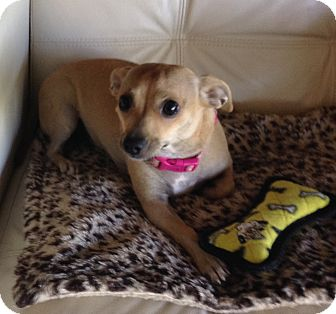 Chihuahua Mix Dog for adoption in Gilbert, Arizona - Coco-Chanel