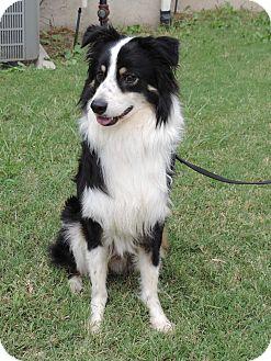 Australian Shepherd Mix Dog for adoption in Plano, Texas - BLAKE - GORGEOUS BOY