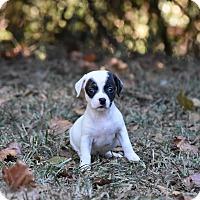 Adopt A Pet :: Diva - Groton, MA