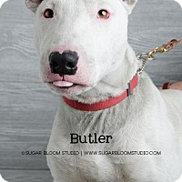 Bull Terrier Dog for adoption in Denver, Colorado - Butler