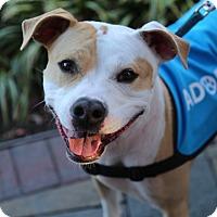 Adopt A Pet :: Allie - Manassas, VA