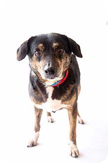 Dachshund/Terrier (Unknown Type, Medium) Mix Dog for adoption in Marietta, Georgia - Sam
