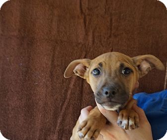 Rat Terrier/Chihuahua Mix Puppy for adoption in Oviedo, Florida - Mookie