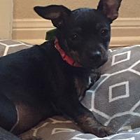 Adopt A Pet :: Shasta - Nanuet, NY
