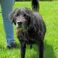 Adopt A Pet :: Midnight - Batavia, OH
