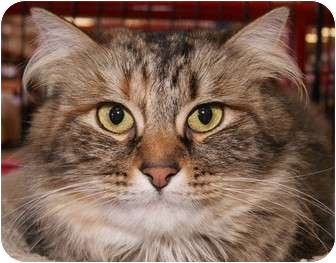 Maine Coon Cat for adoption in San Ramon, California - Cleo