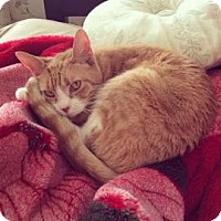 Domestic Shorthair Cat for adoption in New York, New York - Pansy