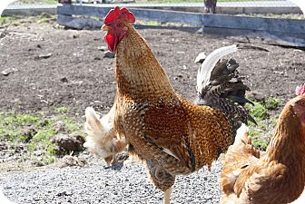Chicken for adoption in Saugerties, New York - Alistair and Gals