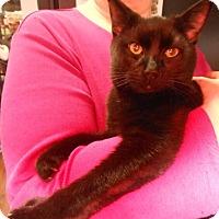 Adopt A Pet :: Jeffers - FeLV positive - Reston, VA