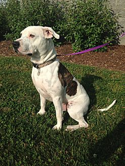 Pit Bull Terrier Mix Dog for adoption in Clarksville, Tennessee - Clyde