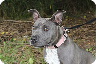American Staffordshire Terrier Mix Dog for adoption in Danville, Illinois - AVERY