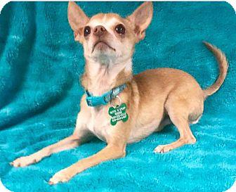 Chihuahua Dog for adoption in La Verne, California - Freddy
