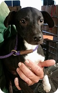 Chihuahua Mix Dog for adoption in Gainesville, Florida - Hugh