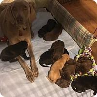 Adopt A Pet :: Maeve - Denton, TX