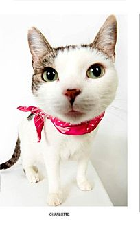 Domestic Shorthair Cat for adoption in New York, New York - Charlotte