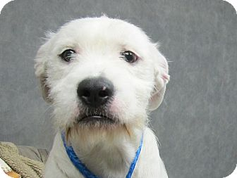 American Bulldog/Fox Terrier (Wirehaired) Mix Puppy for adoption in Spring Valley, New York - Beckett