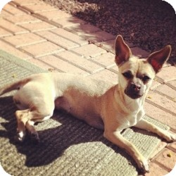 Chihuahua Mix Dog for adoption in Mesa, Arizona - Cierra