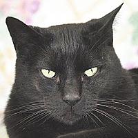 Domestic Shorthair Cat for adoption in Port Angeles, Washington - Fagin