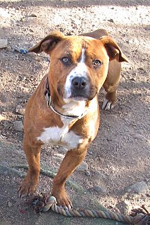 American Staffordshire Terrier/Spaniel (Unknown Type) Mix Dog for adoption in Toluca Lake, California - Elvis