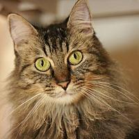 Domestic Mediumhair Cat for adoption in Canoga Park, California - Sophia