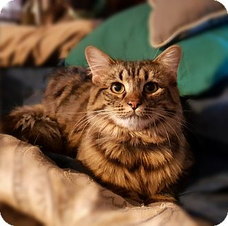 Domestic Longhair Cat for adoption in Greer, South Carolina - Mally