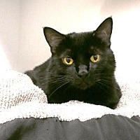 Domestic Shorthair Cat for adoption in Denver, Colorado - Lavinia