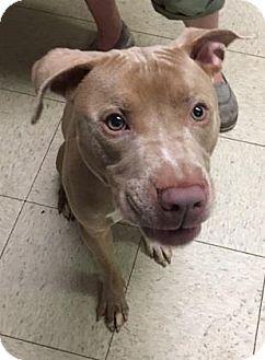Terrier (Unknown Type, Medium)/American Pit Bull Terrier Mix Dog for adoption in Fulton, Missouri - Zorro- Ohio