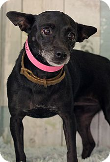 Chihuahua Mix Dog for adoption in Waldorf, Maryland - Susy ADOPTION PENDING