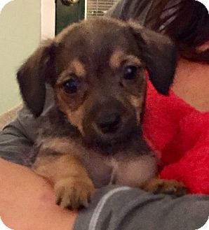 Miniature Schnauzer/Dachshund Mix Puppy for adoption in HAGGERSTOWN, Maryland - MOLLY, MOE and MIKE
