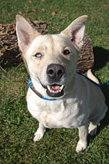 Shepherd (Unknown Type) Mix Dog for adoption in Anderson, Indiana - Bindy
