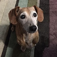 Dachshund Dog for adoption in Pearland, Texas - Crystal Belle