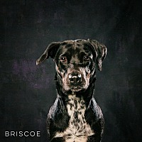 Adopt A Pet :: Briscoe - Houston, TX