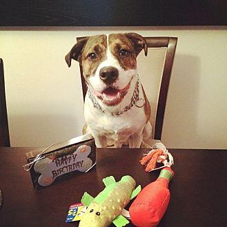 American Bulldog/Terrier (Unknown Type, Medium) Mix Dog for adoption in Port St Lucie, Florida - Brady