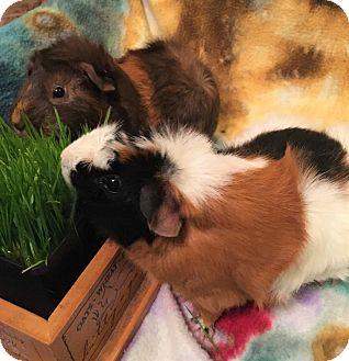 Guinea Pig for adoption in Aurora, Illinois - Anna & Elsa