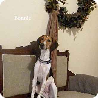 Greyhound/Beagle Mix Dog for adoption in Hagerstown, Maryland - Bonnie