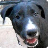 Adopt A Pet :: Baby Harlow - Oakley, CA
