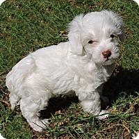 Adopt A Pet :: Lil Bit - La Habra Heights, CA