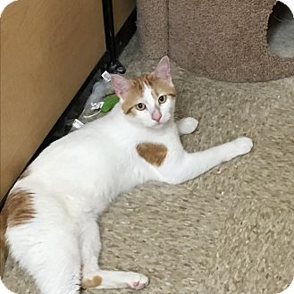 Domestic Shorthair Cat for adoption in West Dundee, Illinois - Calvin