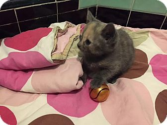 Domestic Shorthair Kitten for adoption in Monroe, New Jersey - Bella