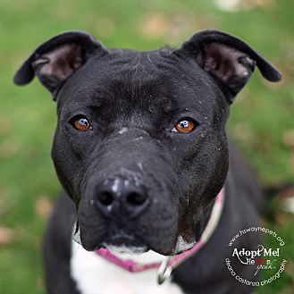 American Pit Bull Terrier Mix Dog for adoption in Lyons, New York - Jewel