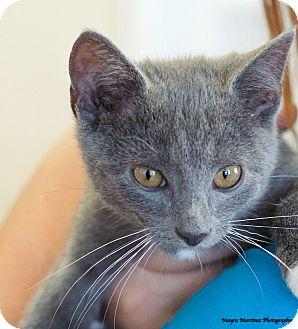 Domestic Shorthair Kitten for adoption in Marietta, Georgia - Charlie