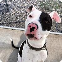 Adopt A Pet :: Pirate - Newhall, CA