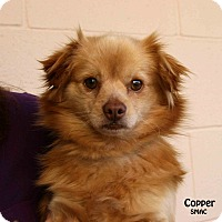Adopt A Pet :: Copper - Santa Maria, CA