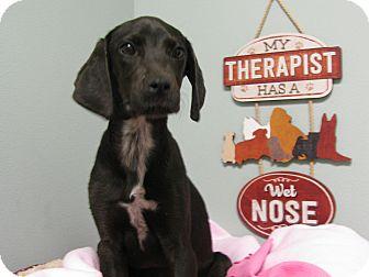 Labrador Retriever Mix Puppy for adoption in Groton, Massachusetts - Piper