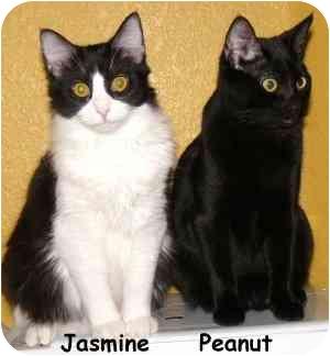 Domestic Mediumhair Cat for adoption in AUSTIN, Texas - Jasmine