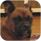 Boxer Dog for adoption in Sunderland, Massachusetts - Spudd