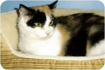 Calico Cat for adoption in Medway, Massachusetts - Rosie